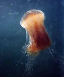 Photo of Jellyfish by Ole Kils