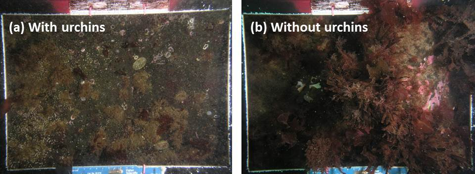 Photos of benthic habitat when urchins are present versus absent
