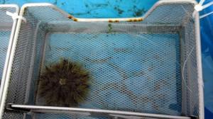 Tethered urchin