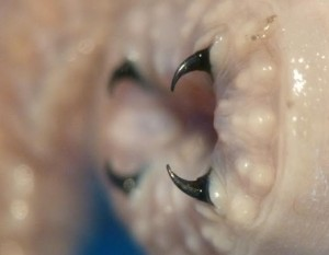 Teeth of a glycerid worm. Photo: Marcos Daniel