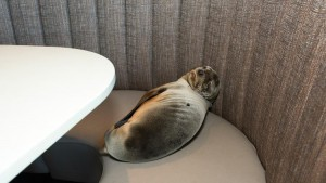 Sea Lion pup in restaurant booth (c) Mike Aguilera