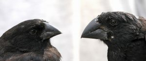 Two finch morphs (Photo by A.P. Hendry, 2014)